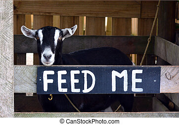 Female Goat in a Goat farm. Sign reads FEED ME.