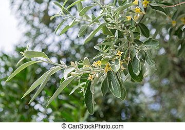 Flowering branch of an olive tree - Branch with yellow...