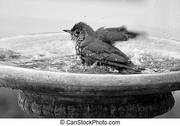 Yellowhammer having a bird shower in birdbath - Yellowhammer...