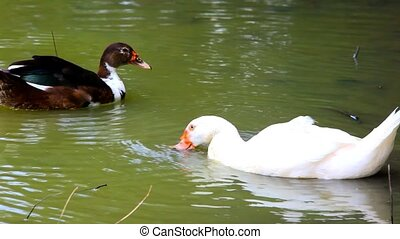 White and black ducks in pond washes, spread their wings...