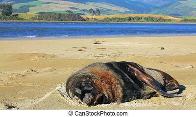 New zealand sea lion tries to sleep - Flies interfere with...