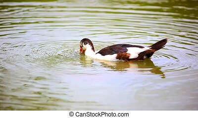 bw duck lowers his head into the pond and swims. Video