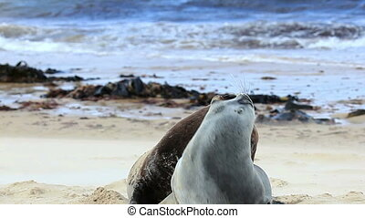 New zealand sea lions mating dance on the shore