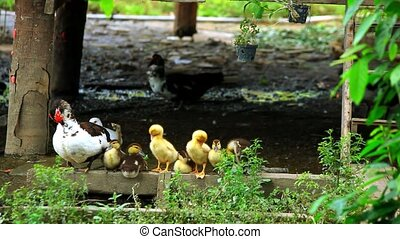 Duck and ducklings wash their wings. Video