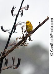 Male Yellowhammer sit on a flax plant branch on rainy day ....
