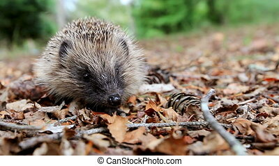 Hedgehog on a forest litter - Hedgehog looks at the camera...