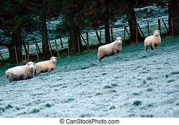 Four sheep flock in a paddock of a sheep farm station