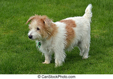 Norfolk Terrier stand on green grass - Norfolk Terrier (...