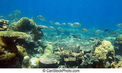 School of fish Surgeonfish on the coral reef panorama