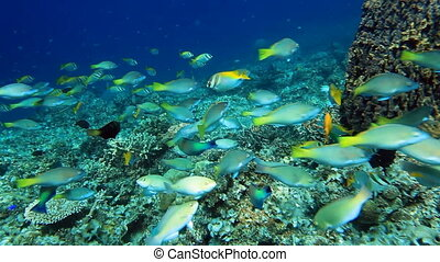 School of fish Parrotfish