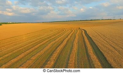 AERIAL VIEW. Field of Wheat After Harvesting. - AERIAL VIEW....