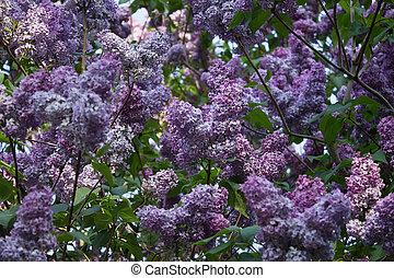 shrub of purple lilacs