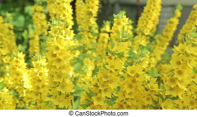 Beautiful flowers loosestrife, HD video