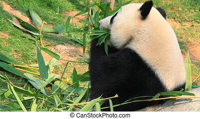 Giant panda. Hong Kong Zoo.