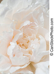 Peony flower  - Closeup of a Beautiful White Peony flower