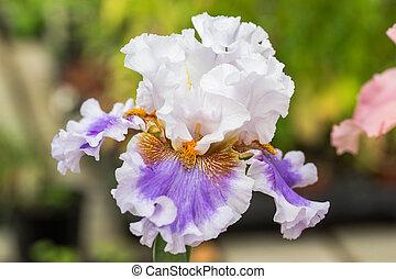 Iris flowers - Close up of white-purple Bearded Iris Flowers
