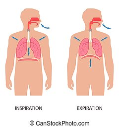 vector respiratory system anatomy, breathing human diaphragm