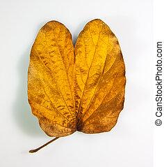 Gold leaf. - Gold leaf  (Bauhinia aureifolia K. & SSLarsen)