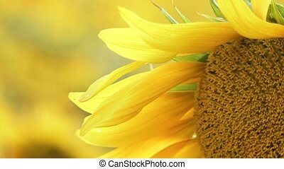 Petals - The background is blurred. Blooming sunflowers...