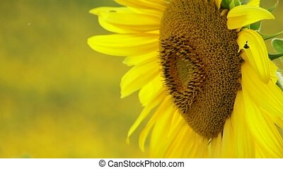 Sunflower - The background is blurred. Blooming sunflowers...