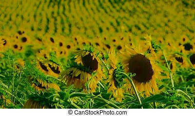 Set Of Sunflowers