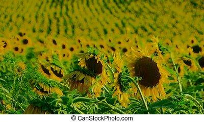 Set Of Sunflowers