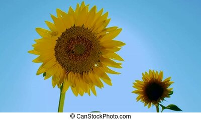 Sunny Sunflower - Close-up. Two beautiful sunflower against...