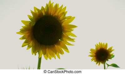 Pair Sunflowers - Close-up. Sunflower swinging in the wind....
