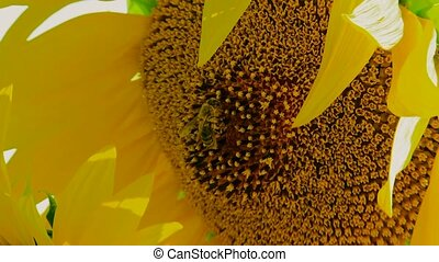 Work Bee - Close-up. Bee collected pollen from a young...
