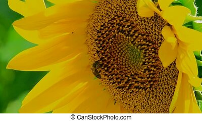 Bee Labor - The bee has sat down on young sunflower has...