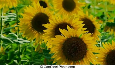 Few Sunflowers - Close-up. Several young sunflowers bobbing...