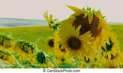 Young Sunflowers - Young sunflowers on a background of...