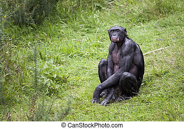 Bonobo sitting in the grass