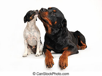 friends dogs - rottweiler and a jack russel terrier are very...