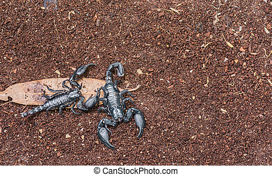 scorpion - image of black scorpion on the wet ground