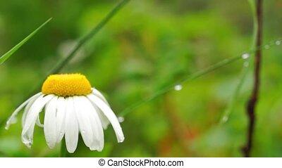 Meadow daisy after rain