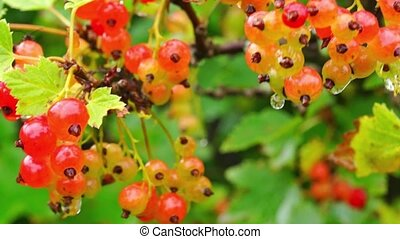 Red currant getting ripe - Macro of wet after rain red...