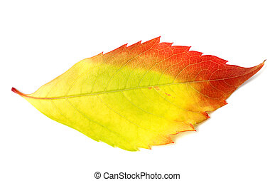 Multicolor autumn leaf from parthenocissus quinquefolia...