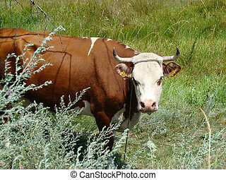 cow grazing in a Sunny meadow,cloven-hoofed domesticated...