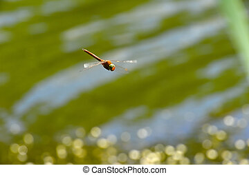 Dragonfly close up flying over the water, a kind of...