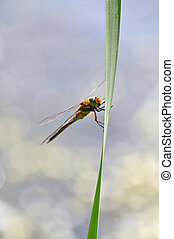 Dragonfly close up sitting on the grass above the water, a...