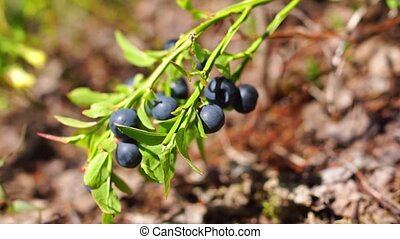 Forest blueberries bush - Natural blueberries on bush in...
