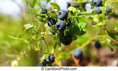 Natural blueberries on bush in wild nothern forest in Russia