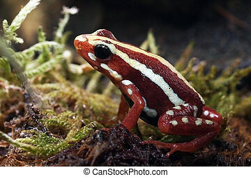rouges, grenouille,  poison