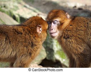 Berbère, singes,