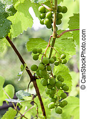 Young bunch of grapes - Grape vine with bunches of unripe...