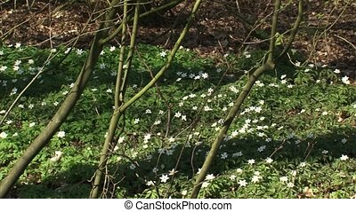 pan + hold Wood anemones + Bird in a bush blooming - pan +...