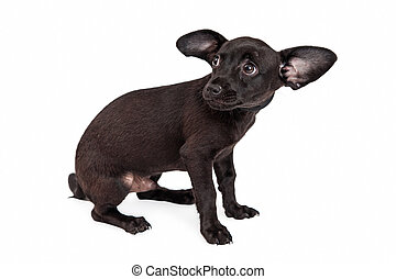 Scared Little Black Chihuahua Puppy - A shy and afraid young...