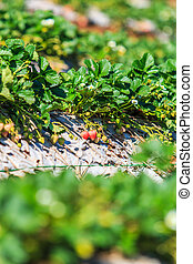 Strawberry garden at Doi Ang Khang , Chiang Mai, Thailand