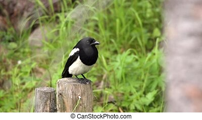 magpie - pica pica - in a swedish forest